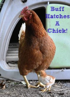 Golden Buff Hatches a Baby #Broody, #Chick, #Chicken, #Golden-Buff #Animals-and-Livestock