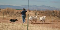 stock stick, australian shepherd, dog