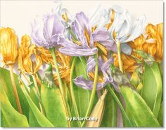 """Old & in the Way"" watercolor painting of tulips having missed their prime."