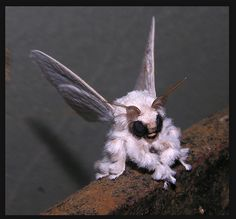 Wow, this is what is known as a Poodle Moth. Like a Moth mated with a... Gremlin?