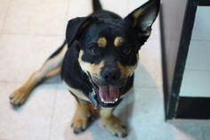 Corgi-Rottweiler Mix Is Key To Discovering 'Cuteness Gene'
