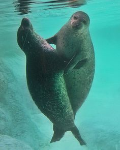 water, seals, ador seal, creatur, ador anim, danc seal, dance, animal, anim seal