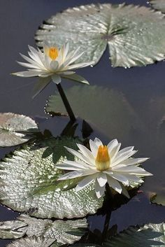 Water Lily ~