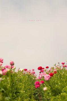 pink flowers, field flowers, lavender fields, field galleri, background