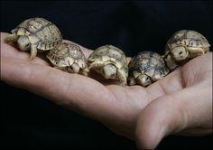 Tortoise's
