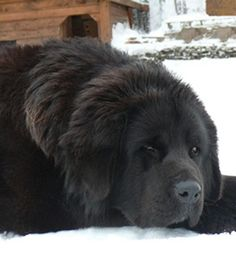 Tibetan Mastiff, they're so cute!! #dog #mastiff #animal