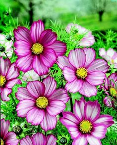 candy stripe cosmos