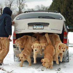 anim, trunk, dogs, dream come true, golden retrievers, heaven, pet, funni, puppi