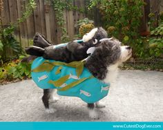 Still looking for your dog's Halloween costume? Dress him (or her) up as a sea otter - complete with ocean, fish & kelp made out of felt!