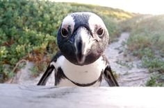 There's A Beach In South Africa With Penguins that hang out with you!! BUCKET LIST!