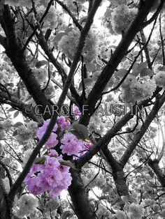 Cherry blossoms on pinterest 47 images on cherry blossom tree cher