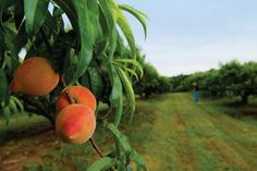 You're a Real Peach: Peach Facts
