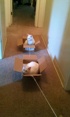 Scientists have found a way to successfully walk cats.