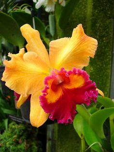 Orchid--yellow and orange