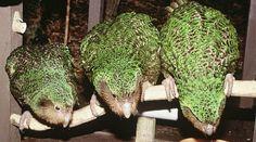 anim, parrots, news, green, kakapo