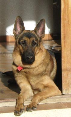 <3 #dog #shepherd #animal #german