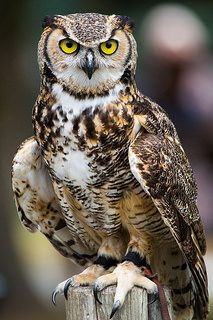 Great Horned Owl by Jason Low