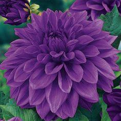 3 Lilac Time Dahlias