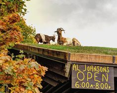 Goats on the Roof of Al Johnson's Swedish Restaurant & Butik, Sister Bay, Door County,