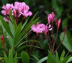 Exotic, but deadly- Nerium Oleander