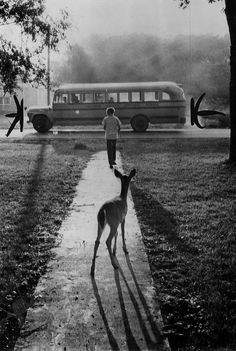 The pet fawn of Brad Curry of Galesburg, Michigan, watches him depart from home every morning on his schoolbus, 1960.