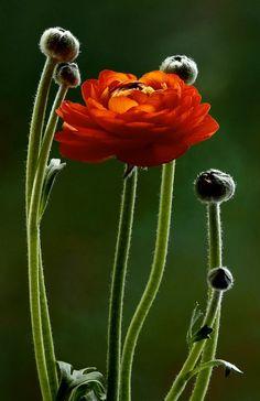 ranunculus, red, burnt orange, color, cutting garden, wonderful places, poppi, flowers, art nouveau