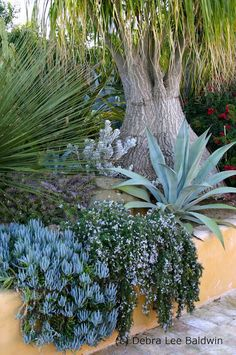 Beaucarnea recurvata in background (bulbous trunk) with dasylirion (far left), and cascading over the wall, l-r: blue senecio, rosemary and Agave franzosinii plant, background, color theme