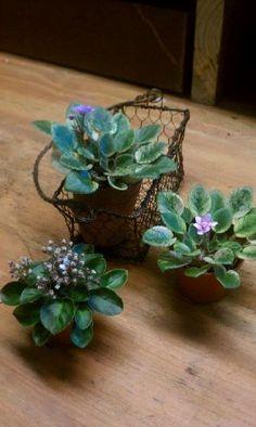 mini African Violet