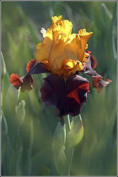 Iris 'Supreme Sultan': Photo by Earl Reinink