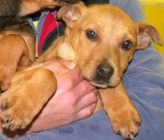 Sandy is an adoptable hound dog in canastota ny sandy is an adorable