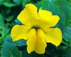 yellow Mimulus