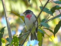 Costa Rica, Rose-breasted Grosbeak
