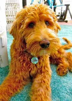Alice Eloise the Goldendoodle-What loving soulful eyes!