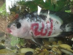 "1997: An albino tiger oscar fish, owned by the Ahmadi family, has suddenly become a celebrity in Lodi, San Joaquin County. A group of Muslims are convinced that the markings on the flank of the fish spell out the word ""Allah"" in Arabic. ""It's a sign of Allah,"" said Ahmadi, a student of the Koran, Islam's holy book. ""If He wants to write His name on any kind of animal or thing, he can do it."" The allah fish has received a flood of guests since it moved into its new aquarium in the Ahmadi home."