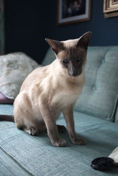 blue point siamese cats | Flickr: The Blue Point Siamese Cats Pool