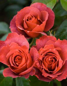Rosa Hot Chocolate ('Wekpaltez')