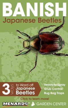 Banish Japanese Beetles from your lawn or garden! Read full article… http://www.menards.com/main/c-14368.htm?utm_source=pinterest&utm_medium=social&utm_content=japanese_beetles&utm_campaign=gardencenter