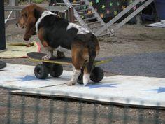 Basset hound on skateboard