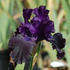 A Very Dark Iris. More Pictures of Black Flowers: http://landscaping.about.com/od/colorfulflowers/ig/black_flowers/iris_black_large.htm
