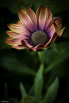 """Sometimes even the most beautiful flower"" - Alan Shapiro"