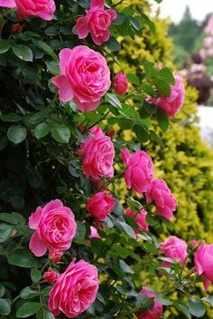Roses- looks like my knockout roses?