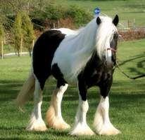 Irish Cob - Horse Breeds & Info