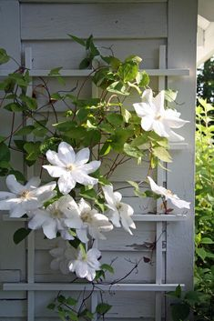 Clematis - such big flowers on such a scrawny vine. the saying goes, clematis like their heads in the sun and their feet in the shade. find a ground cover or very low herb to plant around their base. somehow it works