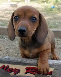 dashound - this little guy is so cute! I love my dashound