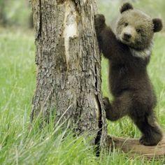 grizzly bear cub <3