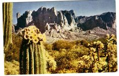 cactus cacti, cactus plant, flowers