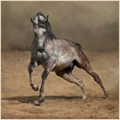Dutch Warmblood: The Dutch Warmblood excels as a sporthorse.Dutch Warmbloods are found in all solid colors.
