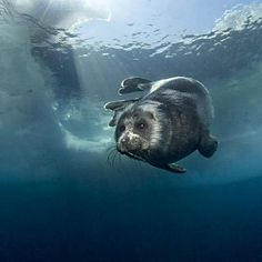 The underwater world of Lake Baikal, showing the world's only fresh water seal - and the smallest seal in the world.