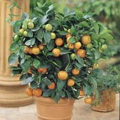Navel Orange trees in containers