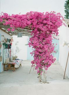 Bougainvillea in For